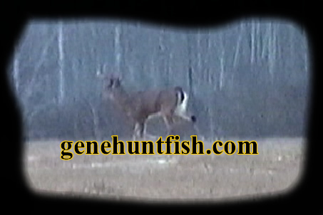 Live  Whitetail Buck
